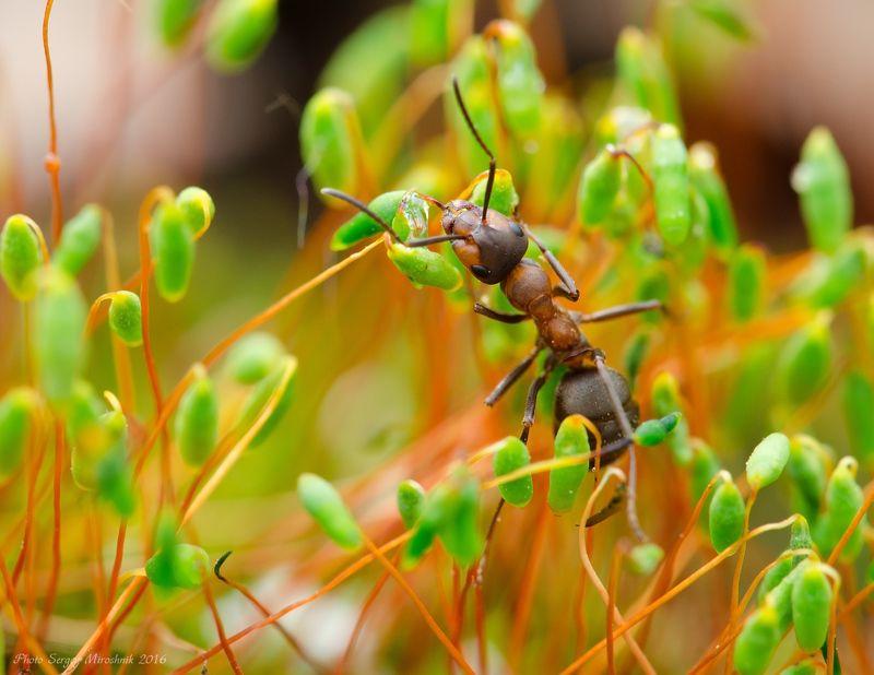 макро, муравей, мох, красиво, растение, насекомое, утро, весна, украина Муравей и мохphoto preview