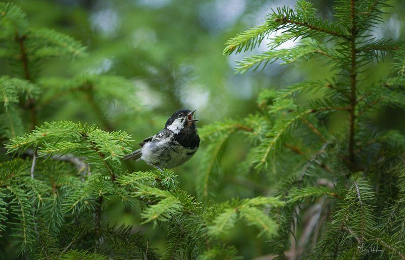 природа, лес, животные, птицы Солисткаphoto preview
