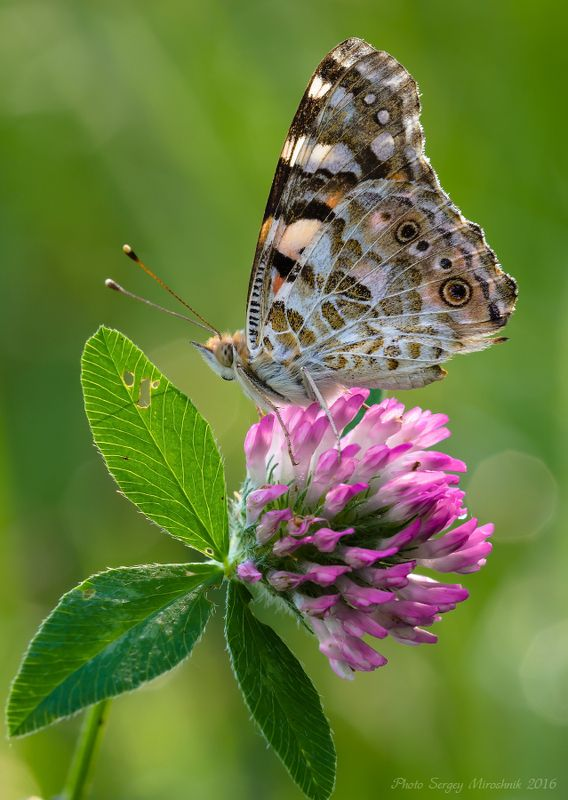макро, бабочка, лето, красиво, растение, насекомое, утро, украина Репейницаphoto preview