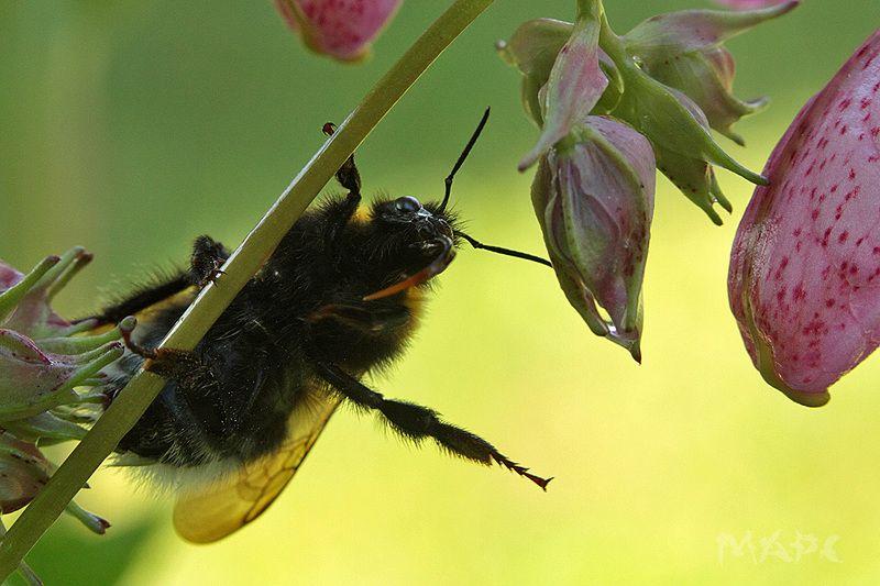 макро жук шмель цветок лето Дотянутьсяphoto preview