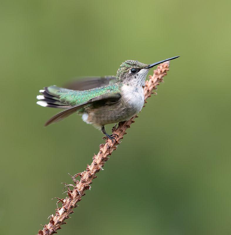 колибри, ruby-throated hummingbird, hummingbird Колибри - Ruby-throated Hummingbird. Femalephoto preview