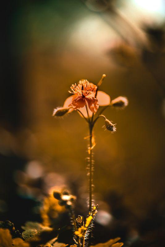 природа, макро, цветы, чистотел Бранзулеткаphoto preview