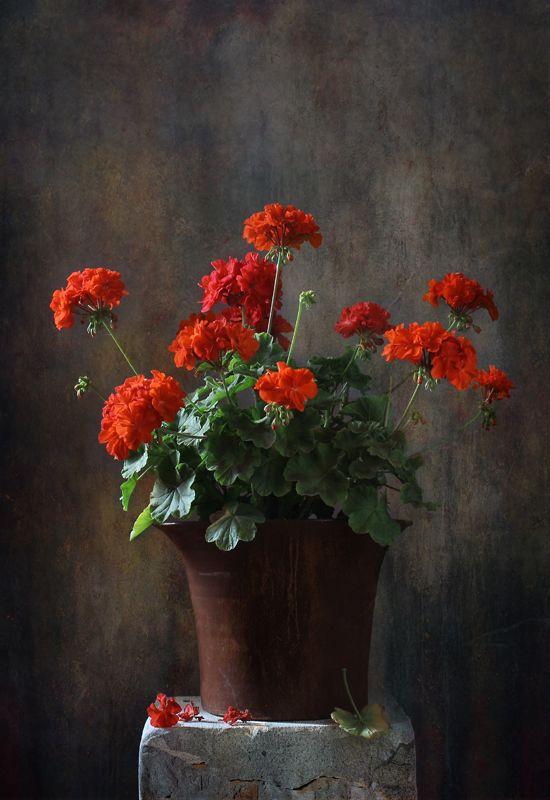 натюрморт, цветы, герань Гераньphoto preview