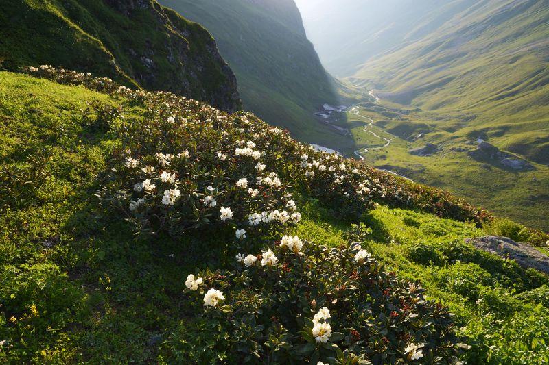 горы,цветы рододендроны на склонеphoto preview