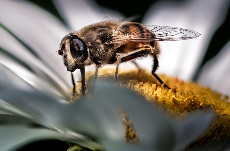природа, макро, цветы, ромашка, насекомое, муха Теплая летняя шубаphoto preview