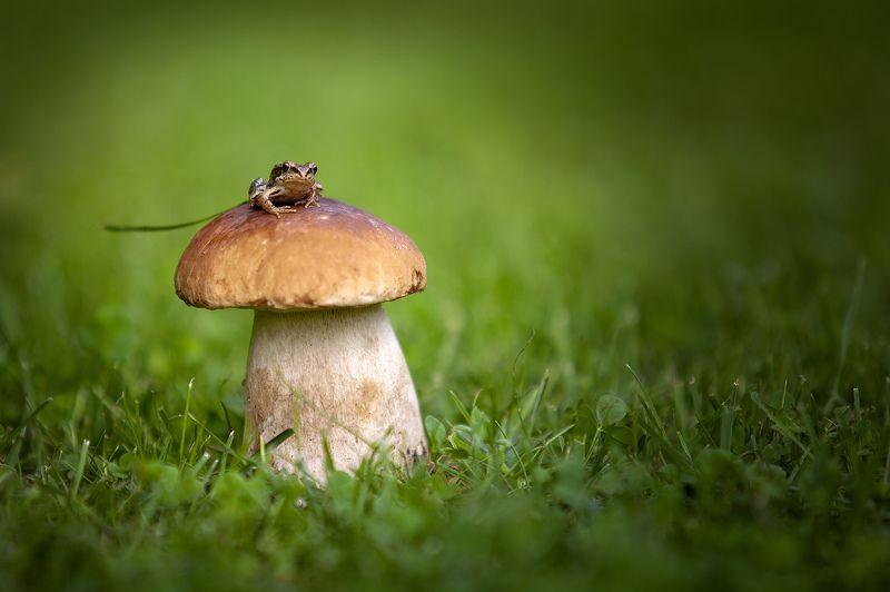 лягушка, гриб, дождь, макро, трава, поле Высоко сижу, далеко гляжуphoto preview