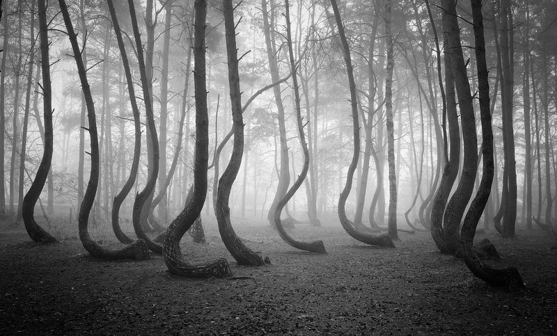 the crooked forest mist dark magic foggy morning art bw poland dranikowski las trees The Crooked Forestphoto preview