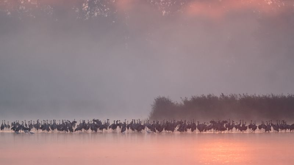 кран, grus grus, crane, żuraw Jesień...photo preview