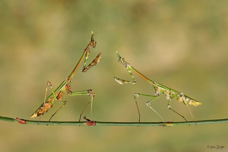 #empusa#fasciata#conehadmantis#fighting#macro#nature#northcyprus#cyprus Star Warsphoto preview