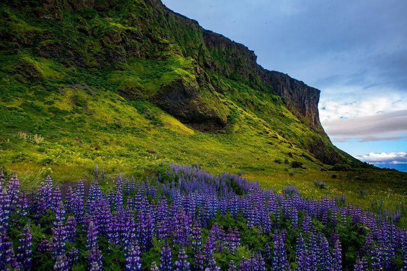 Lupine from Icelandphoto preview