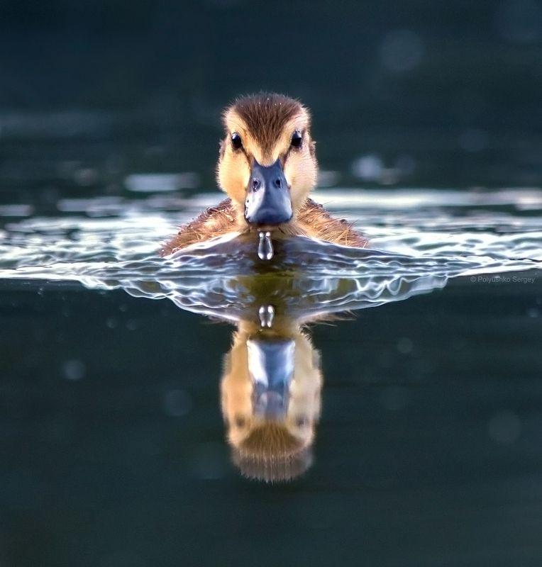 утенок Юный пловецphoto preview