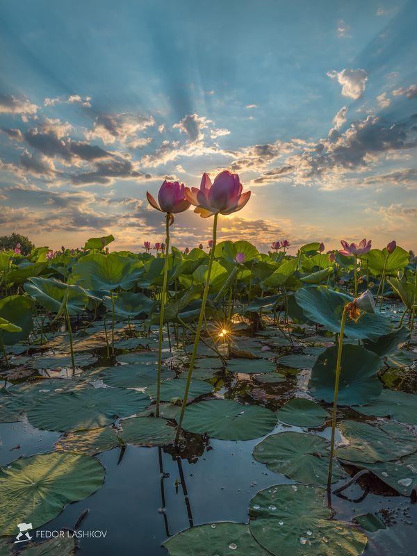 pentax645z, pentaxrussia, pentax, астраханская область, волга, дельта, астраханский государственный биосферный заповедник, лотос, цветы, лето, рассвет, солнце, лучи, В лучах славыphoto preview