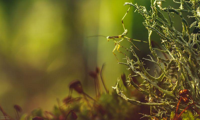 макро, природа, растения, мох, лишайник, насекомые, богомол, боке, macro, nature, plants, moss, lichen, insects, mantis, bokeh, Лесное путешествиеphoto preview