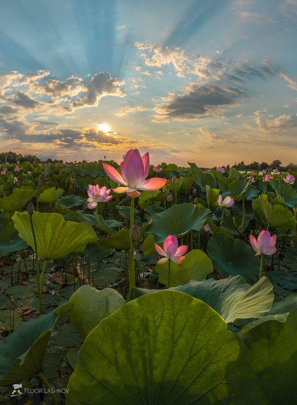 pentax645z, pentaxrussia, pentax, астраханская область, волга, дельта, астраханский государственный биосферный заповедник, лотос, цветы, лето, рассвет, солнце, лучи, Рассвет над плантацией лотосовphoto preview