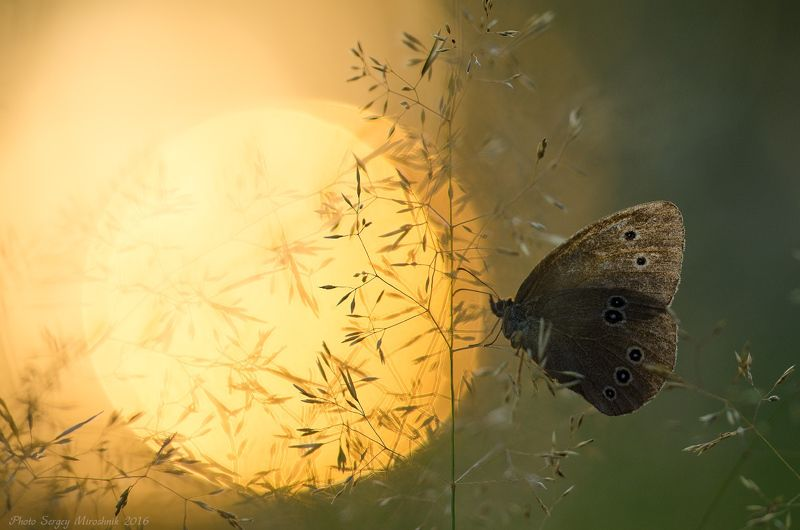 макро, бабочка, лето, август, красиво, растение, насекомое, вечер, украина На краю солнцаphoto preview