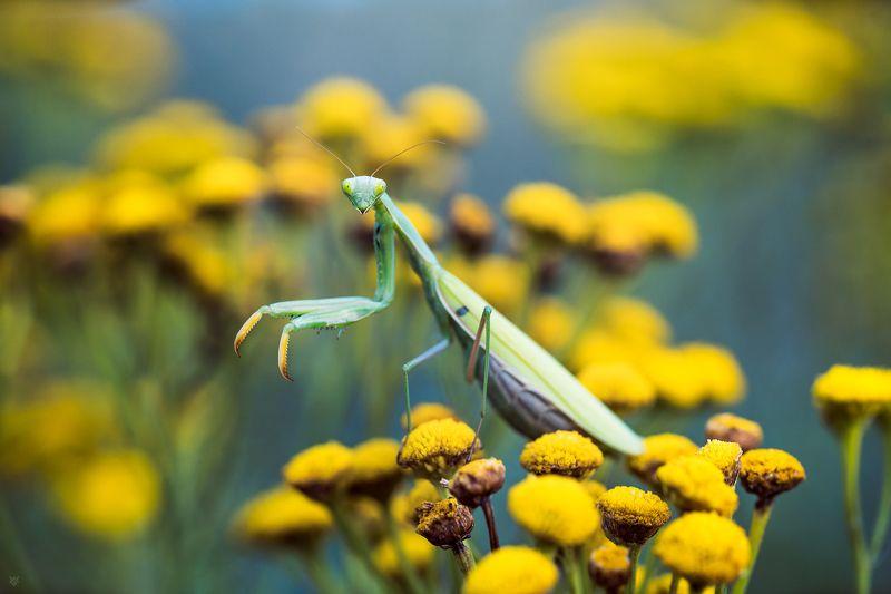 Mantis religiosa, macro,European mantis Mantis religiosaphoto preview