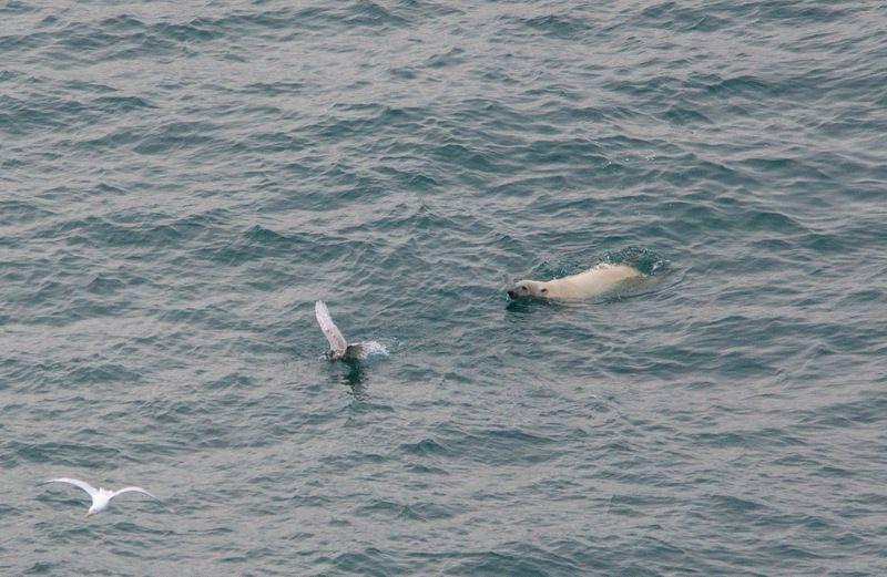 чукотка арктика море медведь белый полярный морской чайка игры Хищник и жертва или медвежьи игры...photo preview