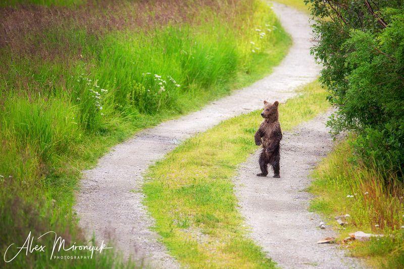 сша, аляска, медведь, гризли, рыбалка, лосось, вода, река, природа, дикая Мама, ты где?photo preview