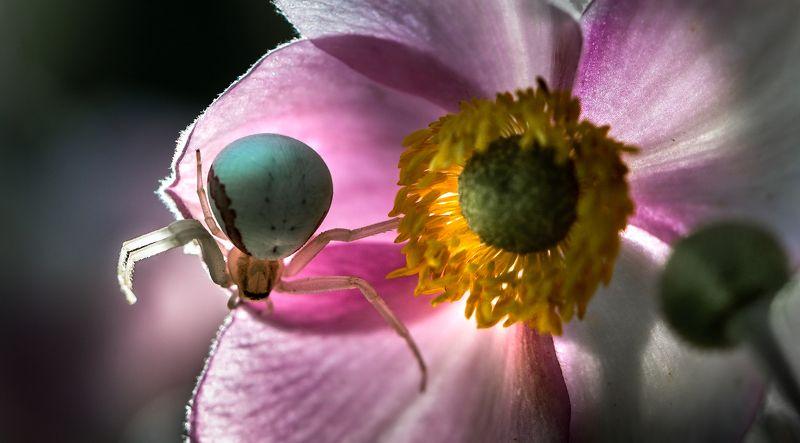 природа, макро, цветы, анемон, насекомое, паук, контровый свет Un, deux, trois...photo preview