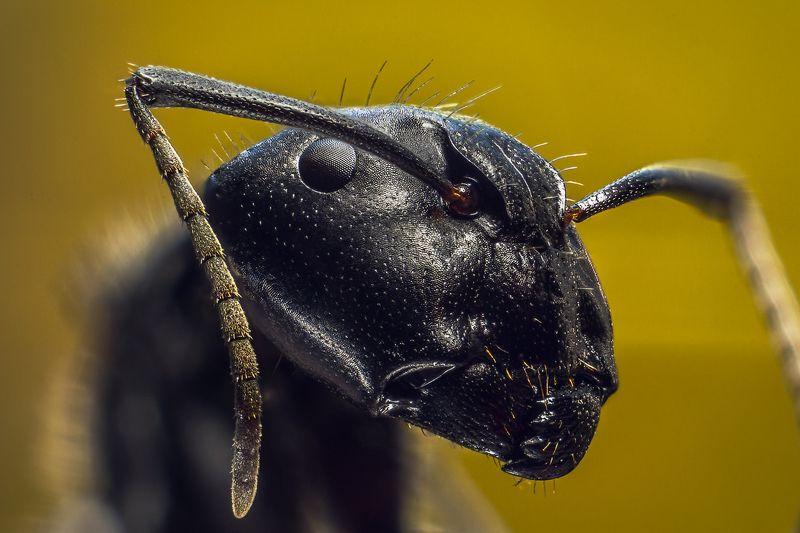термит, насекомое, усы, макро, муравей. Термитphoto preview