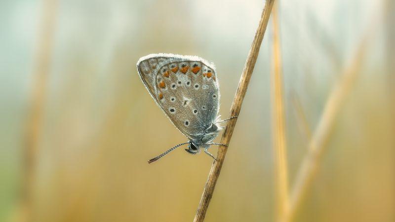 крем , утро Про бабочку голубянку ранним утром на лугуphoto preview
