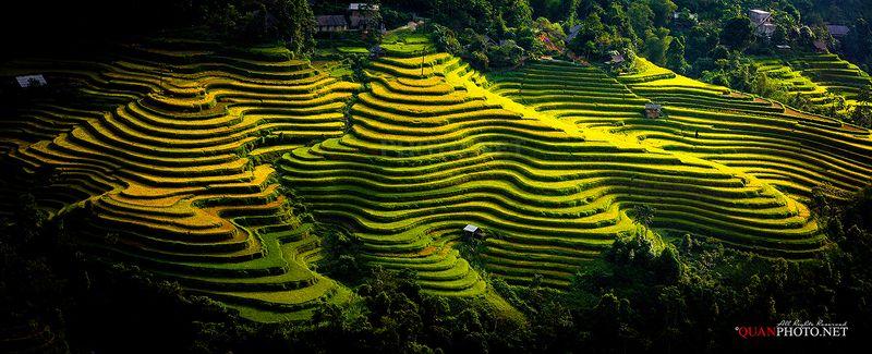 quanphoto, landscape, rice, terraces, golden, harvest, farmland, agriculture, panorama, vietnam, rural Golden Rice Terraces in Vietnamphoto preview