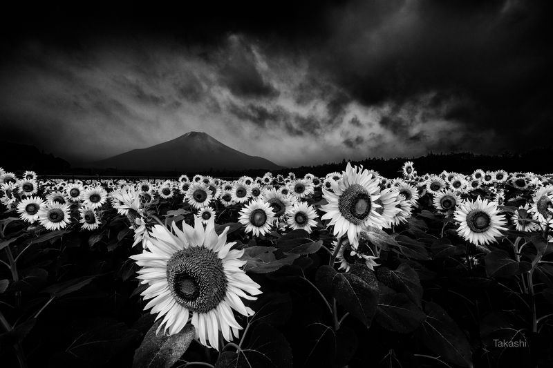 Fuji,Japan,mountain,flower,sunflower,yellow,cloud,storm Before a stormphoto preview