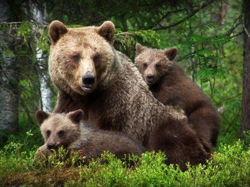 Медвежьи истории - 1