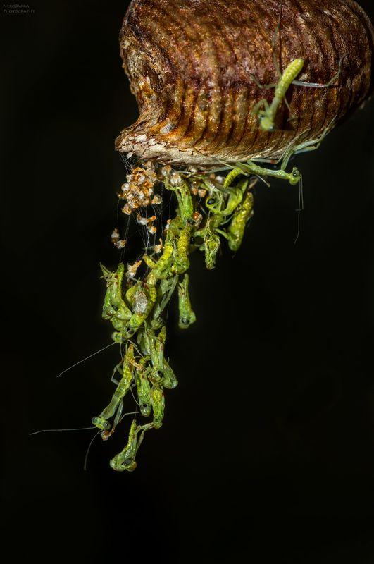 макро, природа, насекомые, кокон, оотека, богомолы, macro, nature, insects, cocoon, ootheca, mantis, Рождение инопланетянphoto preview