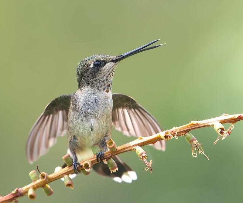 колибри, ruby-throated hummingbird, hummingbird Колибри - Hummingbirdsphoto preview