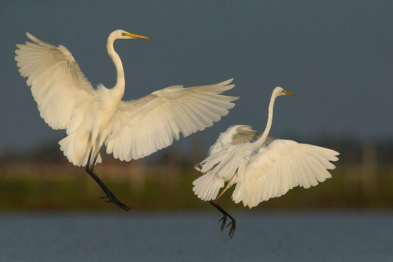 birds         wild        poland Большая белая цапляphoto preview