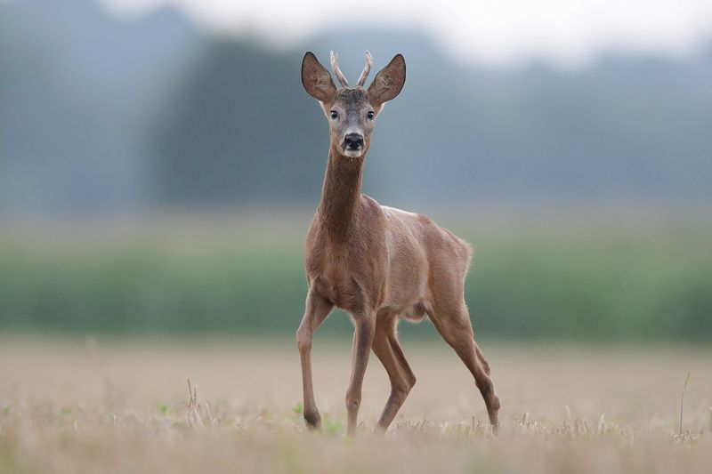 red deer, deer, wildlife Roe deerphoto preview