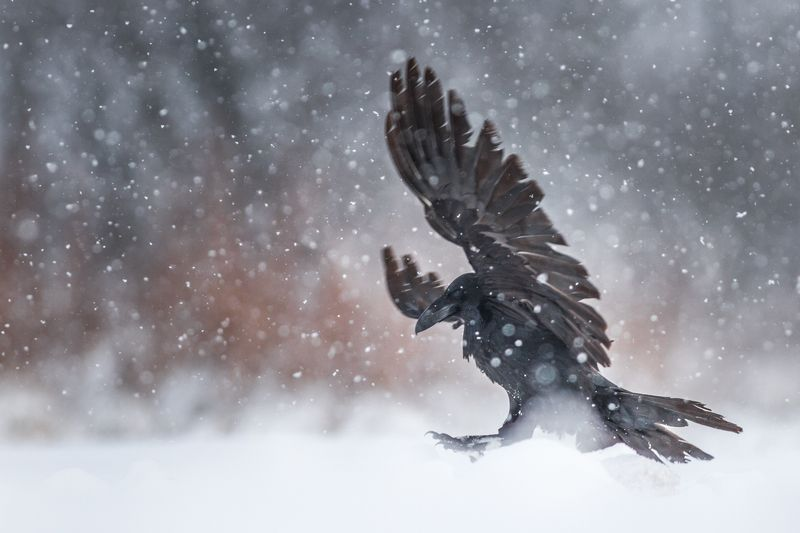 raven, wildlife, snow, winter, Ravenphoto preview
