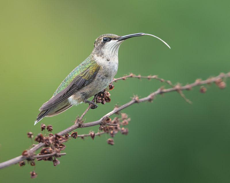 колибри, ruby-throated hummingbird, hummingbird Hummingbird with tongue -Колибри с язычкомphoto preview