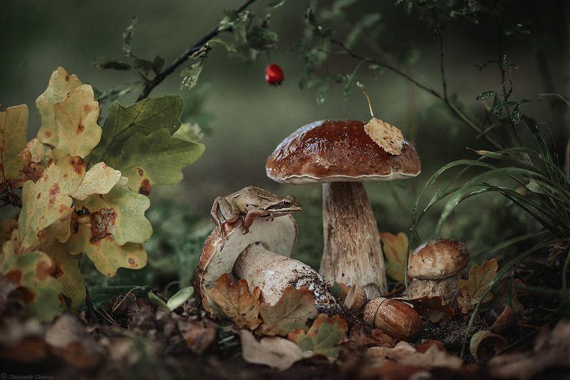 украина, коростышев, осень, лес, красота, макро, макро мир, природа, макро-красота, грибы, лягушка, волшебство, желудь, Простые радостиphoto preview