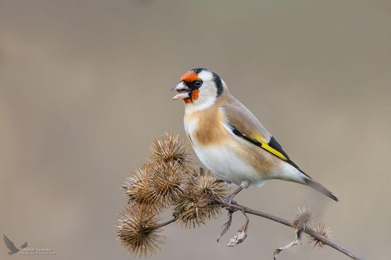 birds, nature, animals, wildlife, colors, meadow, nikon, nikkor, lens, lubuskie, poland Szczygieł, European Goldfinch (Carduelis carduelis) ...photo preview