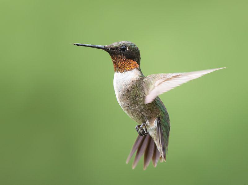 колибри, ruby-throated hummingbird, hummingbird Рубиновогорлый колибри - Male Ruby-throated Hummingbirdphoto preview