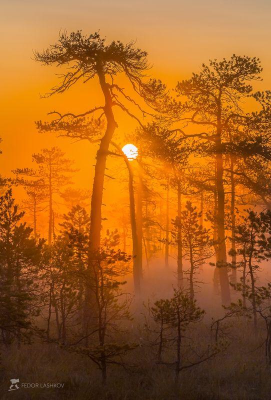 фототур, ленинградская область, деревья, сосна, болото, рассвет, туман, лето, солнце, лучи, оранжевый. Оранжевый мирphoto preview