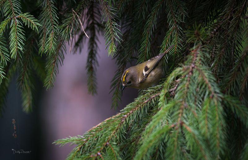 природа, лес, животные, птицы ... вот такой вот хохолок :)photo preview