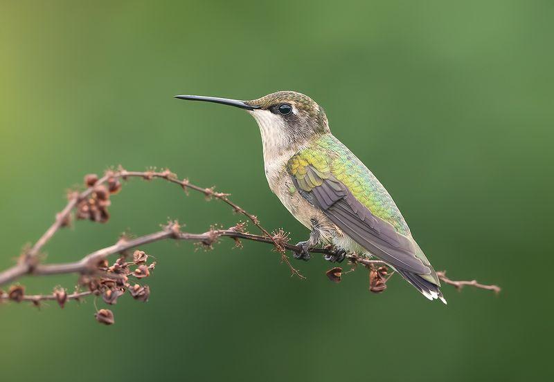 колибри, ruby-throated hummingbird, hummingbird Колибри - Hummingbirds Femalephoto preview