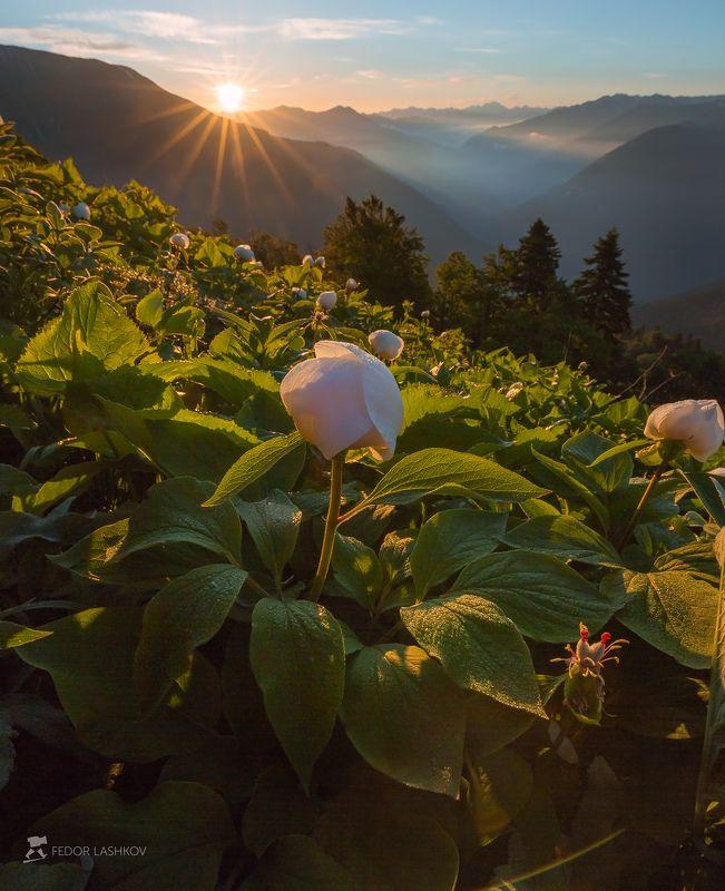 абхазия, фототур, путешествие, горы, цветы, пион, пионы, флора, крупный цветок, рассвет, солнце, лучи, роса, Белоснежные пионы Абхазииphoto preview