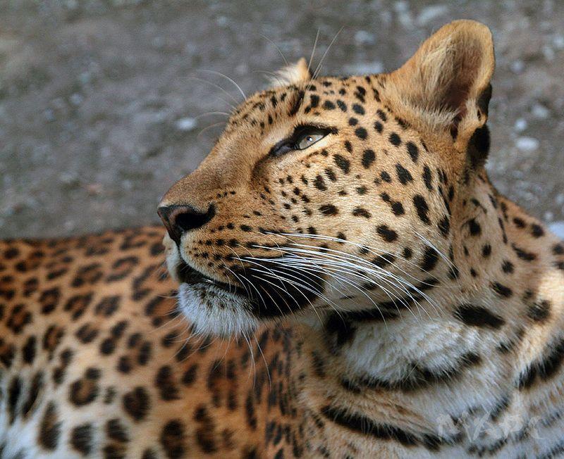 животные леопард хищник сафарипарк Взглядphoto preview