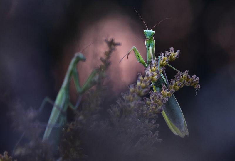 богомол,насекомое. ...photo preview