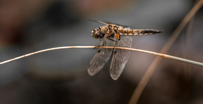 природа, макро, насекомые, стрекоза Дуга характераphoto preview