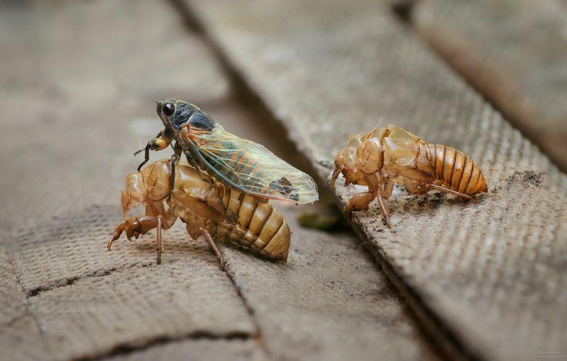 макро, природа, насекомые, цикада, macro, nature, insects, cicada, ***photo preview