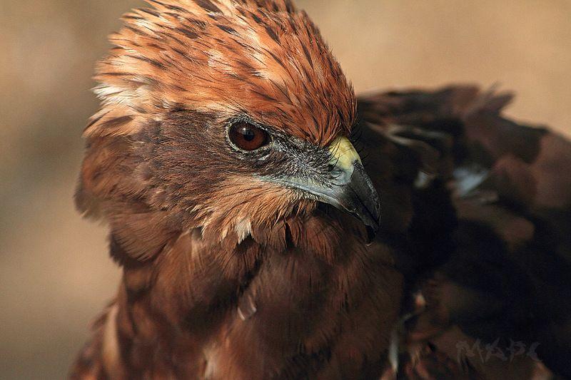 животные птицы коршун Коршунphoto preview