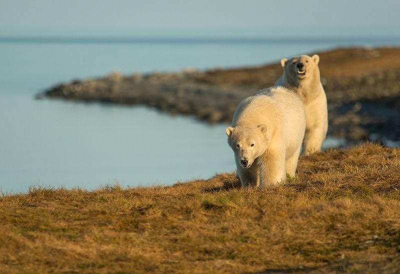 чукотка арктика море медведь белый полярный морской мыс кожевникова медведица медвежонок Встреча с хозяевами...photo preview