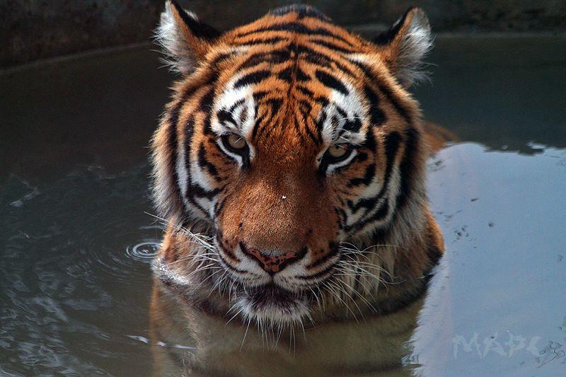 животные тигр амурский тигр сафари-парк Водные процедуры.photo preview