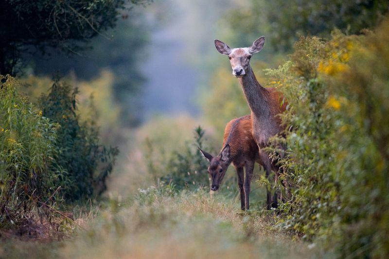 deers, deer, wildlife, forest Dear Deersphoto preview