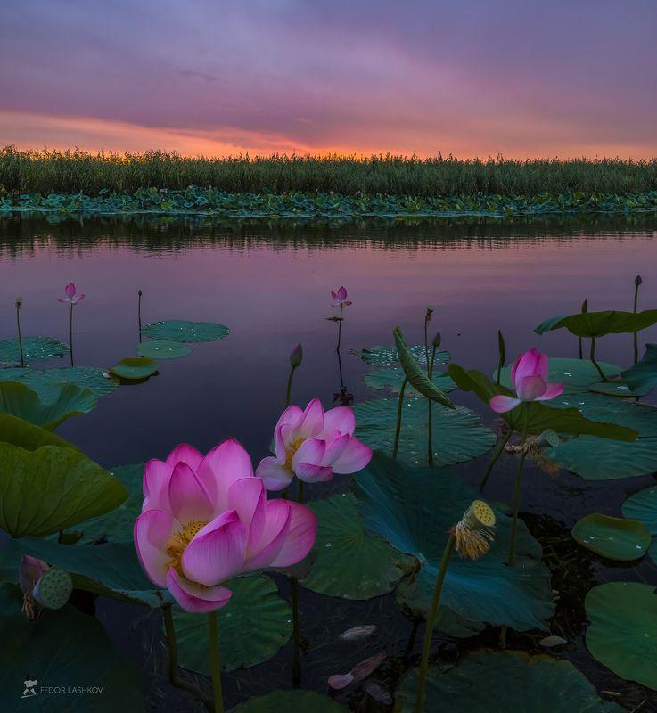 pentax645z, pentaxrussia, pentax, астраханская область, волга, дельта, астраханский государственный биосферный заповедник, лотос, цветы, лето, рассвет, заря, река, вода, Лотосы цвета летней зариphoto preview